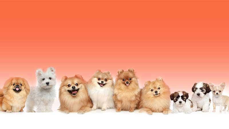 כלבים קטנים