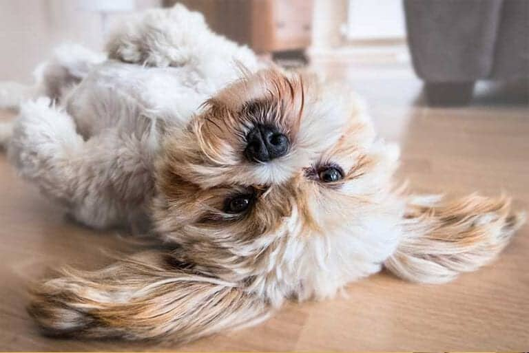 סוגי כלבים שלא משירים שיער