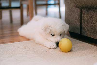 גור כלבים משחק בכדור