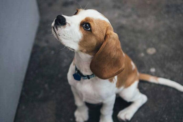 טיפול נגד פרעושים לכלבים