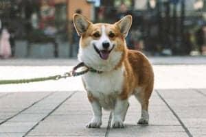 לבחור רצועה מתאימה לכלב