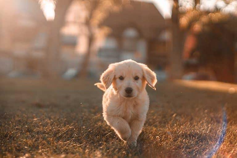 גור כלבים קטן