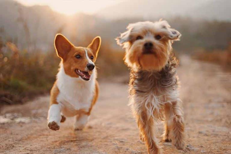 כלב קורגי וכלב יורקשייר משחקים