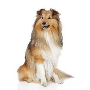 כלב רועים שלטי