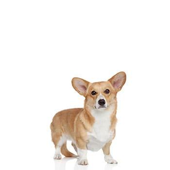 כלב קורגי למכירה